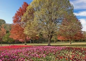 Parterres de tulipes dans les jardins de Cheverny